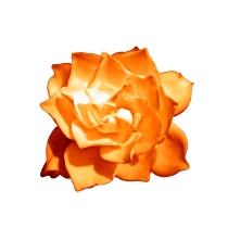 gardenia in disguise