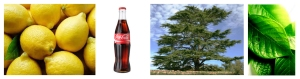 Cedro atlas Cola notes